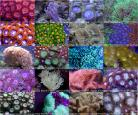 Super-Massive 40 Coral Mixed Frag Pack with FREE Shipping
